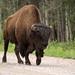 Bison Walking
