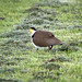 Masked Lapwing: Four Legs