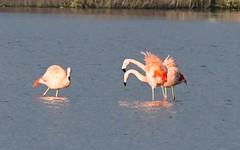 DSC_0019 Chileense Flamingo : Flamant du Chili : Phoenicopterus chilensis : Chileflamingo : Chilean Flamingo :