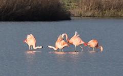 DSC_0177 Chileense Flamingo : Flamant du Chili : Phoenicopterus chilensis : Chileflamingo : Chilean Flamingo :