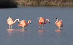 DSC_0132 Chileense Flamingo : Flamant du Chili : Phoenicopterus chilensis : Chileflamingo : Chilean Flamingo :
