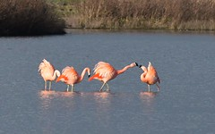 DSC_0121 Chileense Flamingo : Flamant du Chili : Phoenicopterus chilensis : Chileflamingo : Chilean Flamingo :