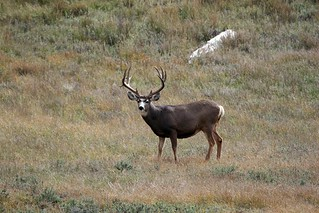 118-mule-deer-in-meadow