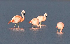 DSC_0235 Chileense Flamingo : Flamant du Chili : Phoenicopterus chilensis : Chileflamingo : Chilean Flamingo :