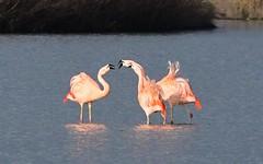 DSC_0193 Chileense Flamingo : Flamant du Chili : Phoenicopterus chilensis : Chileflamingo : Chilean Flamingo :
