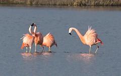 DSC_0062 Chileense Flamingo : Flamant du Chili : Phoenicopterus chilensis : Chileflamingo : Chilean Flamingo :