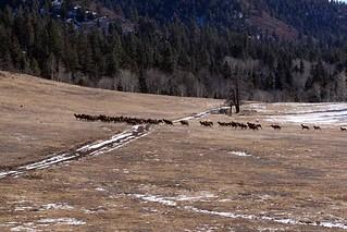 175-migrating-elk