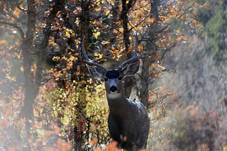 100-mule-deer-looking