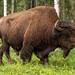 Wood Bison Walking