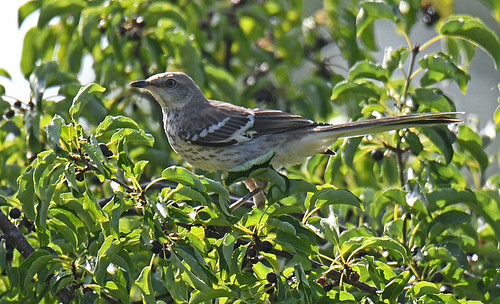 Northern Mockingbird (Juv) - Brickyard Trail - © Dick Horsey - Aug 17, 2020