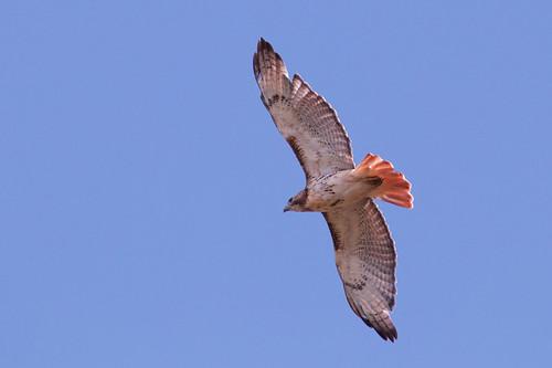 Red-tailed Hawk - Brickyard Trail - © Jeanne Verhulst - Aug 18, 2020