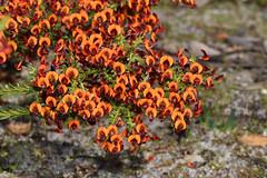 Daviesia microphylla