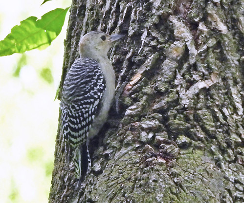 Red-bellied Woodpecker (Juv) - Irondequoit - © Candace Giles - Aug 17, 2020