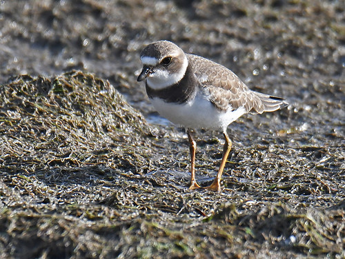 Semipalmated Plover - Braddock Bay East Spit - © Dick Horsey - Aug 19, 2020
