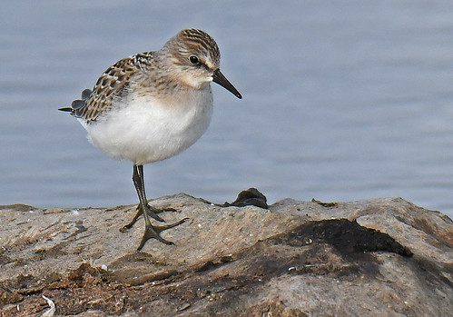 Semipalmated Sandpiper - Braddock Bay East Spit - © Dick Horsey - Aug 19, 2020