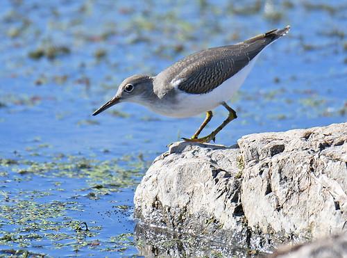 Spotted Sandpiper - Braddock Bay East Spit - © Dick Horsey - Aug 19, 2020