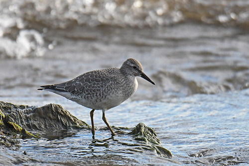 Red Knot (Imm) - Braddock Bay East Spit - © Dick Horsey - Aug 19, 2020