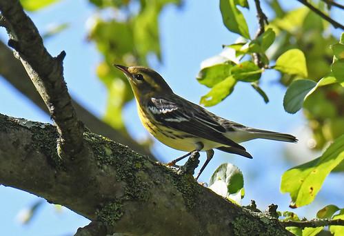Blackburnian Warbler (F) - Brickyard Trail - © Dick Horsey - Aug 17, 2020