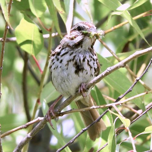 Song Sparrow - Brickyard Trail - © Eunice Thein - Aug 18, 2020