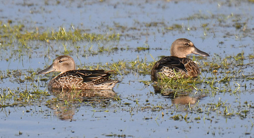 Blue-winged Teal - Braddock Bay East Spit - © Dick Horsey - Aug 19, 2020