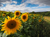 Sunflowers at Drewtons