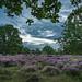 heather bloom in Flanders