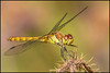 Common Darter (Female)