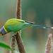 A Female Plum Headed Parakeet