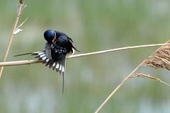 HNS_2836 Boerenzwaluw : Hirondelle rustique : Hirundo rustica : Rauchschwalbe : Swallow