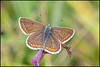 Brown Argus (Male)