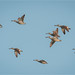 Pink-eared Duck: We're Out of Here
