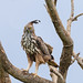 A Changeable Hawk Eagle on a High perch Surveying