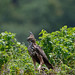 A Changeable Hawk Eagle with a Lizard Monitor Kill