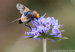 Pellucid hover fly
