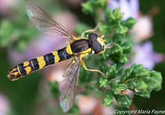 Long hover fly