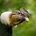 Andenkondor Vultur gryphus