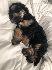 Huey is Baylee & Fonzie baby