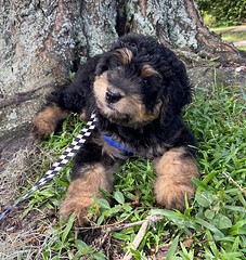 Hi I'm Ozzy - Josie & Fonzie puppy