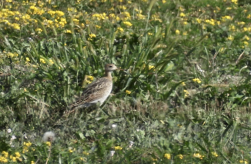 Upland Sandpiper - Rochester - © Candace Giles - Aug 24, 2020