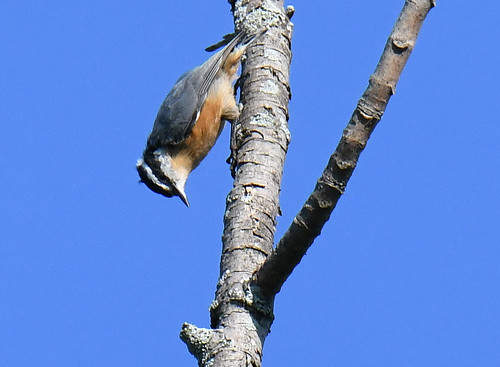 Red-breasted Nuthatch - Whiting Road Nature Preserve - © Dick Horsey - Aug 24, 2020