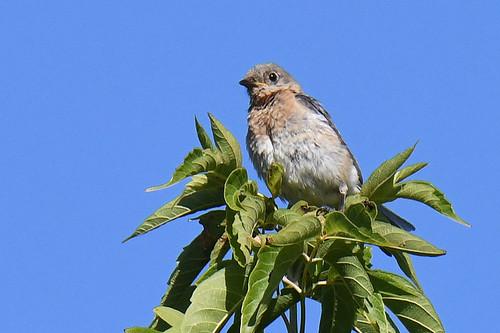 Eastern Bluebird (Juv) - Oatka Creek Park - © Dick Horsey - Aug 20, 2020