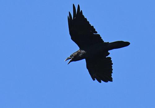 Common Raven - Oatka Creek Park - © Dick Horsey - Aug 20, 2020