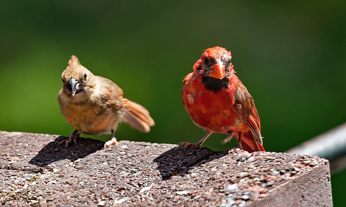 Northern Cardinal (Juv/M) - Rochester - © Angie Armstrong - Aug 21, 2020