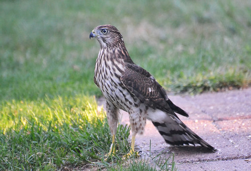 Cooper's Hawk - Webster - © Peggy Mabb - Aug 24, 2020