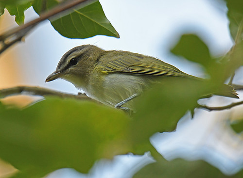 Red-eyed Vireo - Whiting Road Nature Preserve - © Dick Horsey - Aug 24, 2020