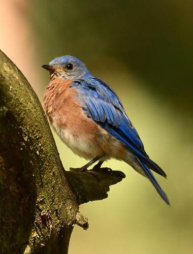 Eastern Bluebird - Hamlin Beach Park - © Alan Bloom - Aug 22, 2020