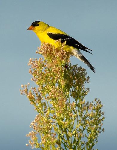 American Goldfinch - Braddock Bay East Spit - © Alan Bloom - Aug 23, 2020