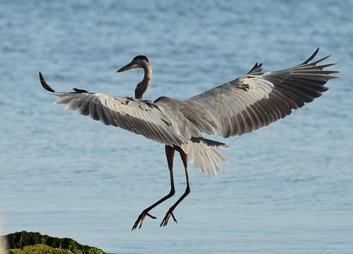 Great Blue Heron - Braddock Bay East Spit - © Alan Bloom - Aug 23, 2020