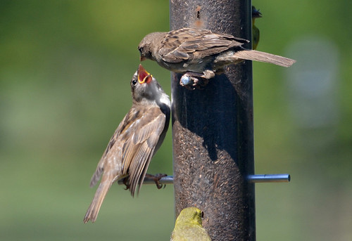 House Sparrow - Webster - © Peggy Mabb - Aug 23, 2020