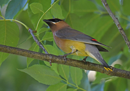 Cedar Waxwing - Whiting Road Nature Preserve - © Dick Horsey - Aug 24, 2020